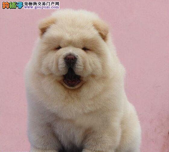 精品松狮幼犬一对一视频服务买着放心保证品质完美售后