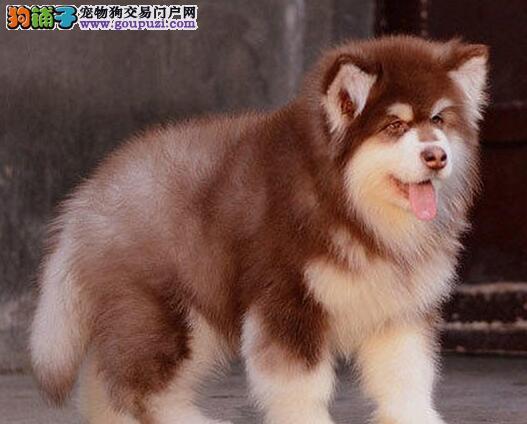 杭州养殖场低价转让多只十字脸阿拉斯加犬 狗贩子勿扰1