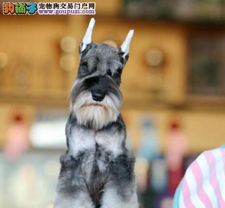 北京精品高品质雪纳瑞宝宝热销中北京当地上门挑选