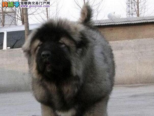 转让熊版超大体型的兰州高加索犬 狼青色值得大家选购3