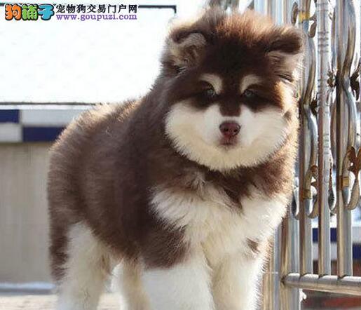 转让十字脸身体健康的兰州阿拉斯加犬 保证售后和品质