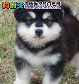 极品阿拉斯加犬出售 CKU品质绝对保证 全国送货上门1