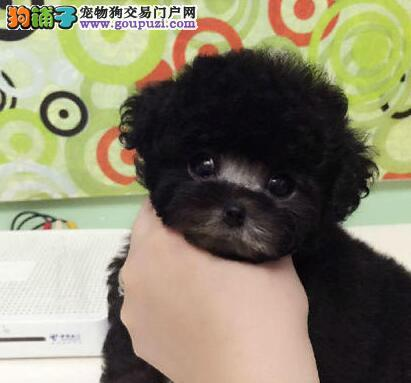 低价转让济南家养泰迪犬 超萌超可爱已训练