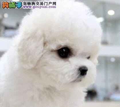 活泼可爱卷毛比熊犬出售中 济南周边地区送狗粮