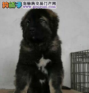 怎样判断高加索犬的纯种程度
