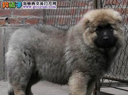 大长毛大骨架 最好品相高加索犬重庆低价出售 有多条