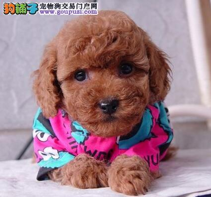 火爆出售甜美脸型的绍兴泰迪犬 公母均有速来选购吧
