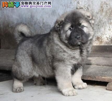 极品大骨架合肥高加索犬出售 身体健康有保证假一罚百
