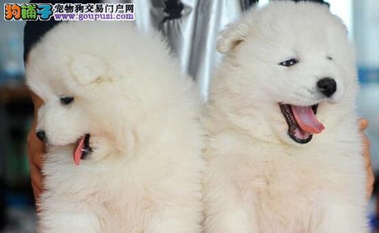 天津本地最专业萨摩耶犬基地出售萨摩耶签协议当面交易