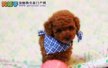 南京犬舍直销纯种健康可爱的泰迪幼犬 终身售后保障2