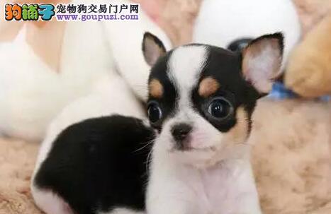 深圳犬舍直销纯种健康吉娃娃犬幼犬 微信实物视频挑选