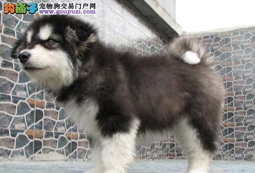 极品纯种双十字宁波阿拉斯加雪橇犬转让 可当面看狗