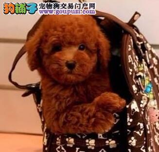 南京犬舍直销纯种健康可爱的泰迪幼犬 终身售后保障1