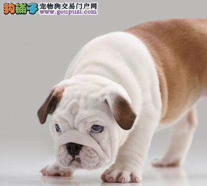 广州精品法国斗牛犬幼犬 多色可选 法斗包纯种健康