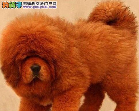 獒园基地出售本溪高品质贵族血统藏獒幼犬 保纯种健康