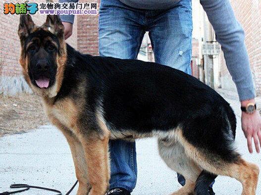 出售疫苗驱虫齐全的锤系杭州德国牧羊犬 完美售后服务1