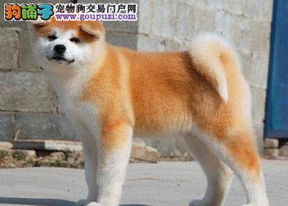 南平出售纯种高品质秋田犬 品质健康双保障可视频看狗