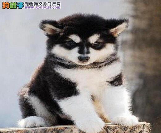 精品阿拉斯加雪橇犬 大阿公狗幼犬合肥出售