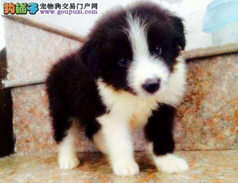 武汉出售边境牧羊犬 圆形脖七白到位 欢迎看狗