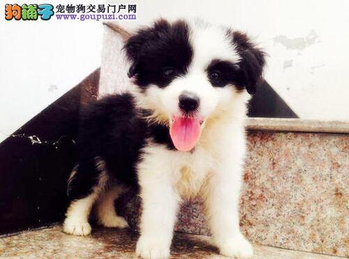 极品纯正的天津边境牧羊犬幼犬热销中期待您的光临