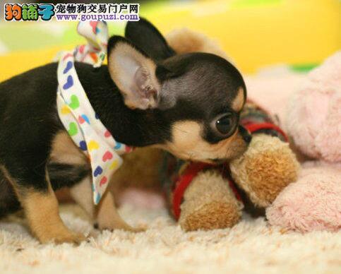 广州繁殖出售袖珍犬吉娃娃健康可签订质保协议