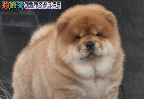 出售活泼可爱纯种宠物狗狗,雄壮威风大头松狮幼犬 !