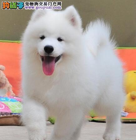 出售雪白色可爱温顺的萨摩幼犬;价格优惠 、