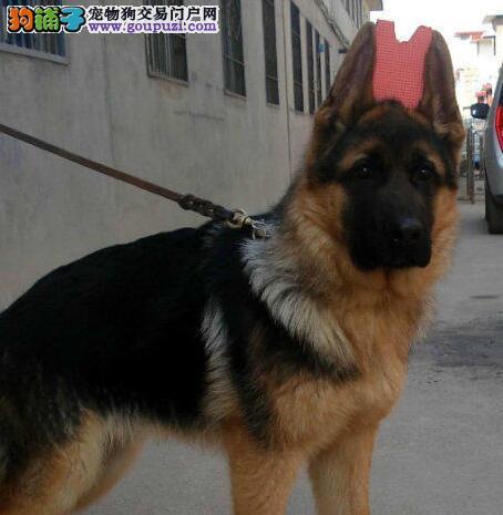 金华正规犬舍繁殖精品纯种德国牧羊犬签订协议品质保障