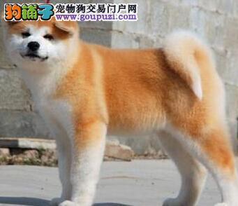 北京家养纯种聪明日本秋田犬幼犬转让 血统纯包养活