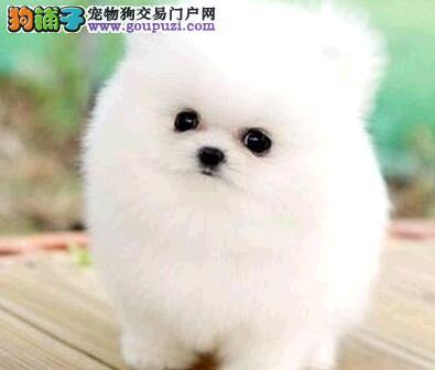 郑州实体店低价促销赛级博美犬幼犬冠军级血统品质保障