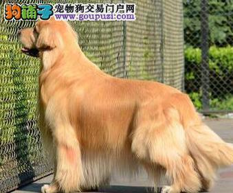 深圳金毛犬舍专业养殖金毛犬出售纯种金毛犬 打完疫苗