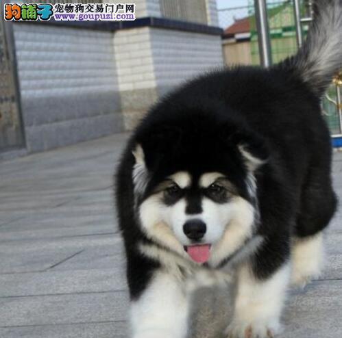 低价出售拥有纯正血统的阿拉斯加雪橇犬宝宝