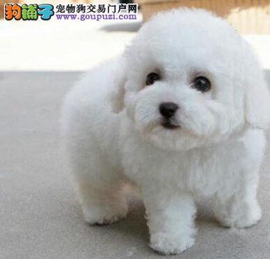 广州知名犬舍专业繁殖售法系比熊幼犬 质保签售后协议