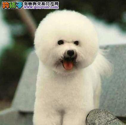 卷毛棉花糖版的太原比熊犬优惠出售 数量有限速来选购