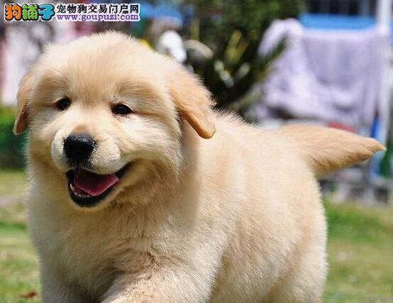 个头大金色郑州大金毛犬热销中 赛级血统签售后协议