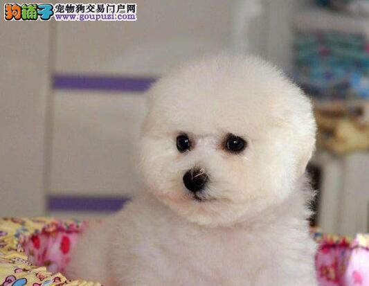 欢迎来贵阳当地犬舍购买优秀卷毛比熊犬 可办理证书