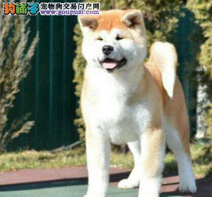 自家养殖纯种秋田犬低价出售保证品质完美售后