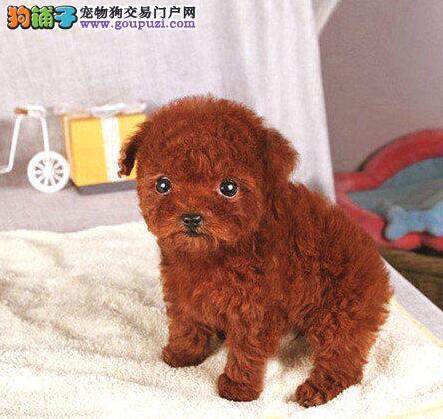 完美品相多种颜色的泰迪犬找新主人 太原市内免费送货