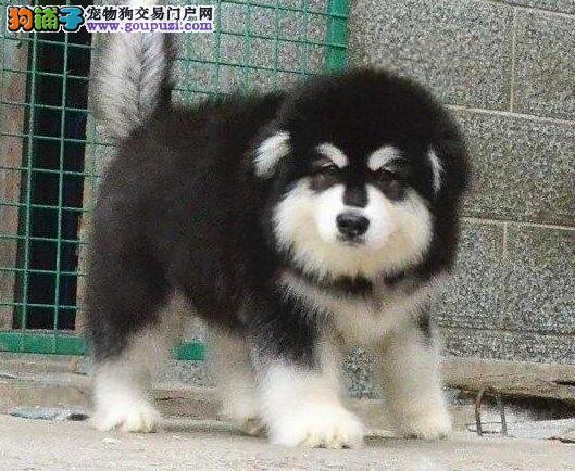 优秀双十字阿拉斯加雪橇犬南京正规狗场出售 保证健康