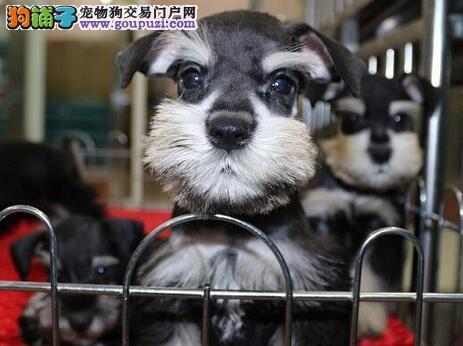 太原犬舍出售椒盐色毛色纯正的雪纳瑞 签订购犬协议