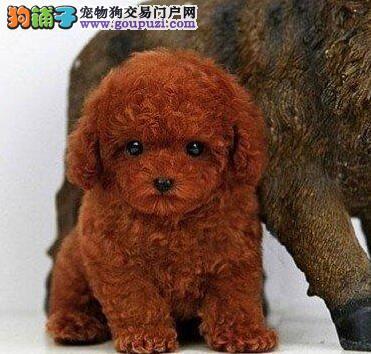 养殖场出售正宗韩系深圳贵宾犬保健康签合同