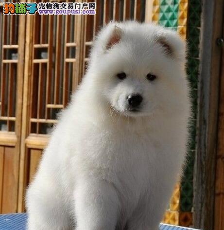 微笑天使幼犬萨摩耶玉林市出售 公母全有可挑选