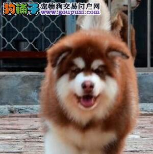 巨型红色黑色阿拉斯加犬包纯种保健康买垃圾狗别找我