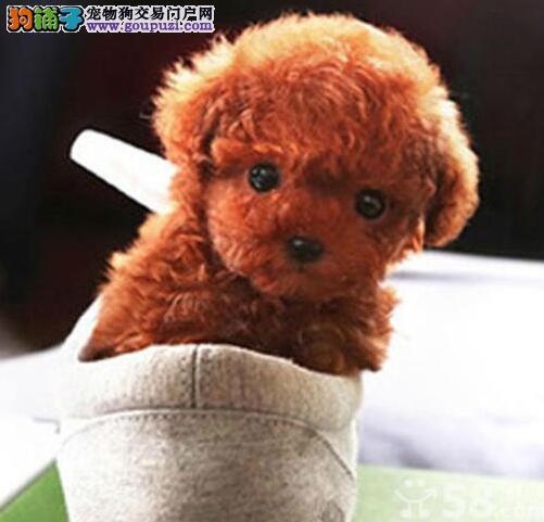 三峡门市直销小体泰迪犬自家繁殖无异味不掉毛泰迪幼犬