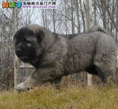 熊版大头版大骨架 好毛量高加索幼犬无锡待售 多重保障