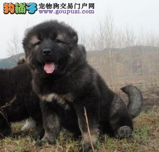 狗场低价转让原生态绵阳高加索犬质保出售