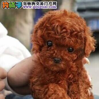 热销泰迪犬颜色齐全可见父母赛级品质保障