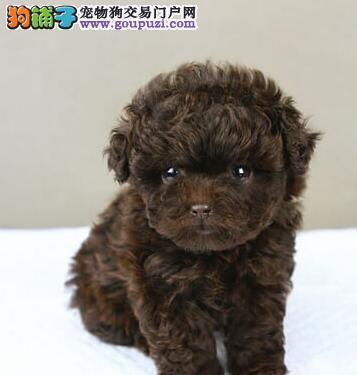 茶杯玩具血系的青岛泰迪犬找爸爸妈妈 完美的售后服务