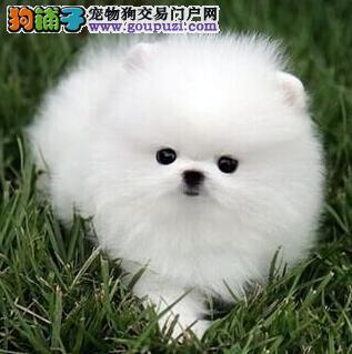 上海家养博美犬 纯种博美多少钱 哈多利博美实物拍摄