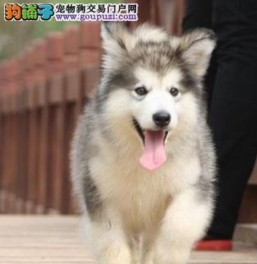 优惠出售纯种阿拉斯加雪橇犬图片